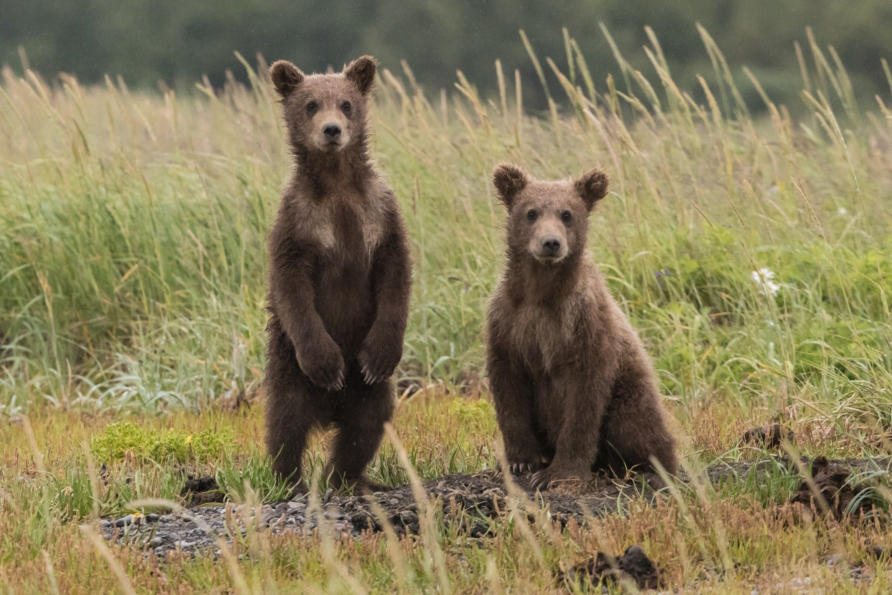 Bear cubs in nature