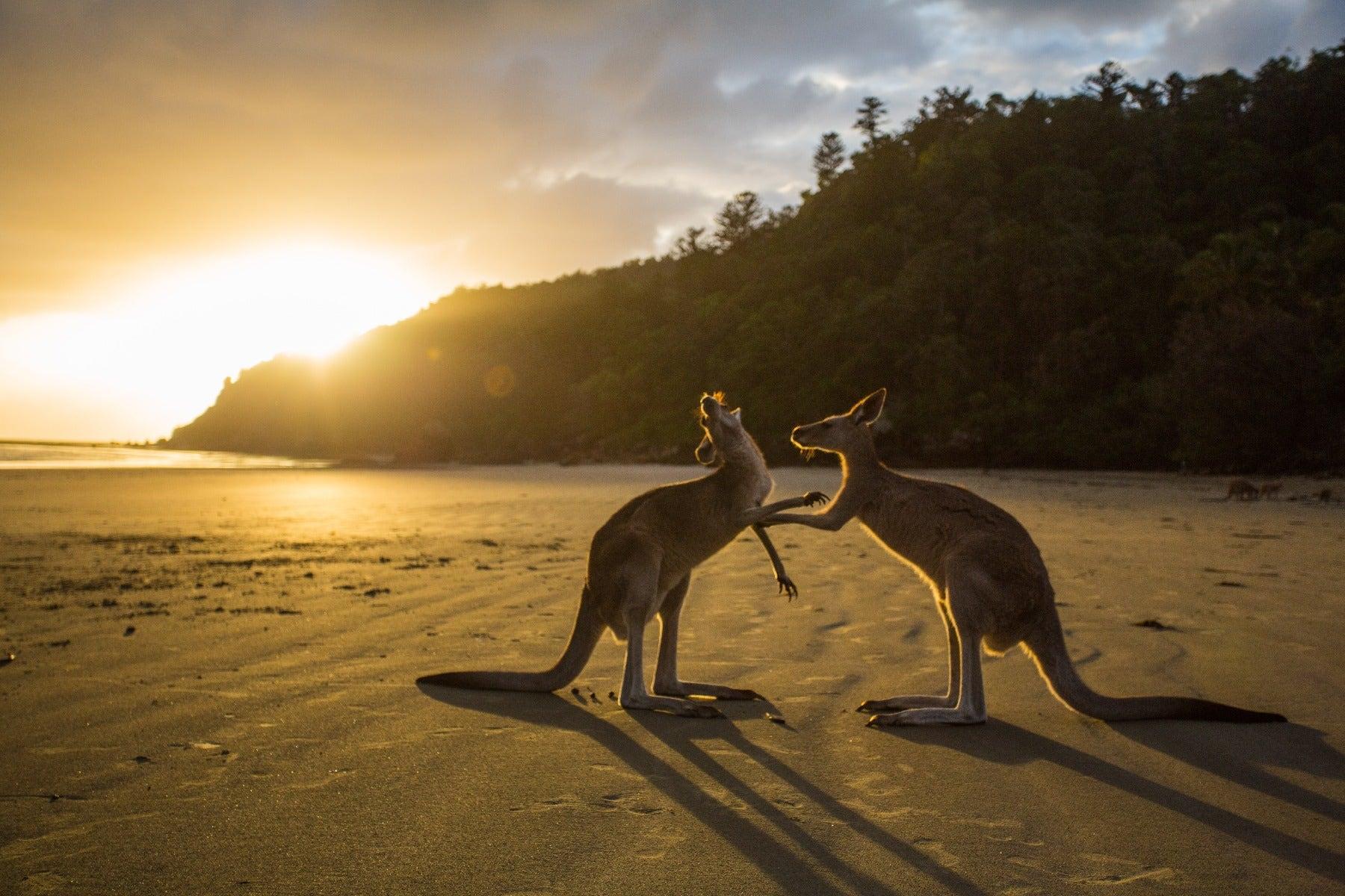 Kangaroos on the beach at sunset
