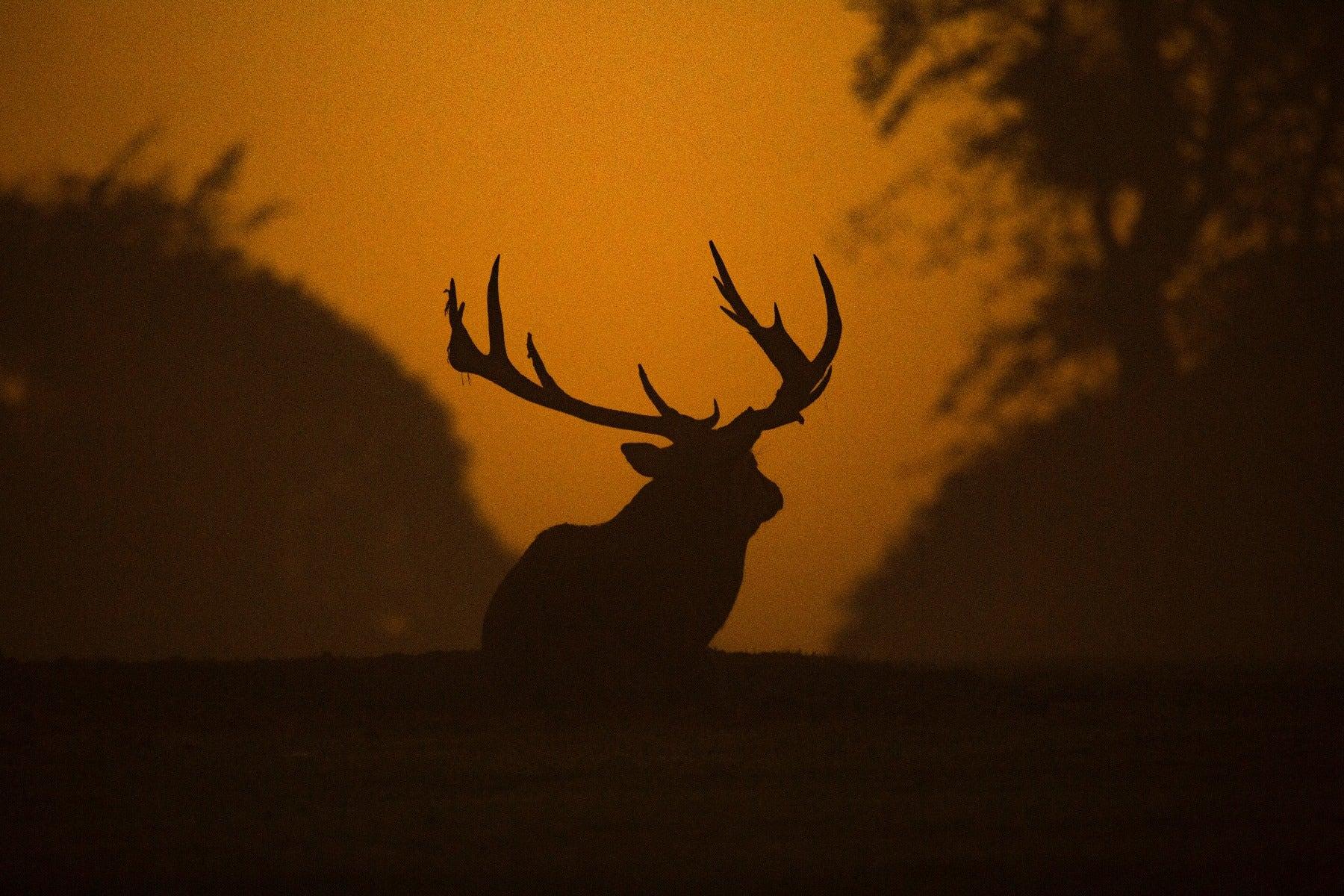 Silhouette of an elk at sundown