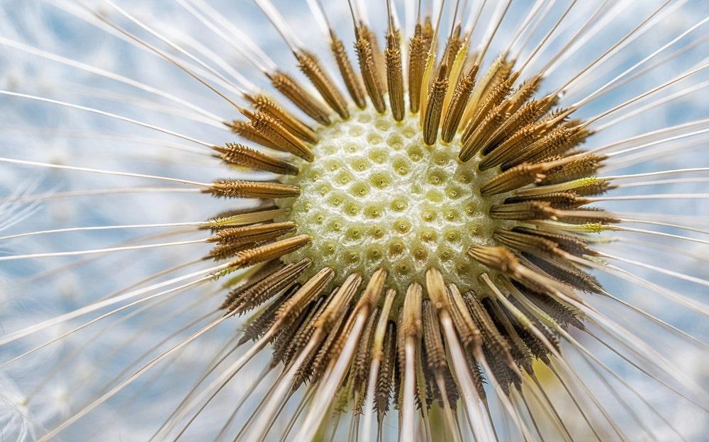 Extreme macro of dandelion