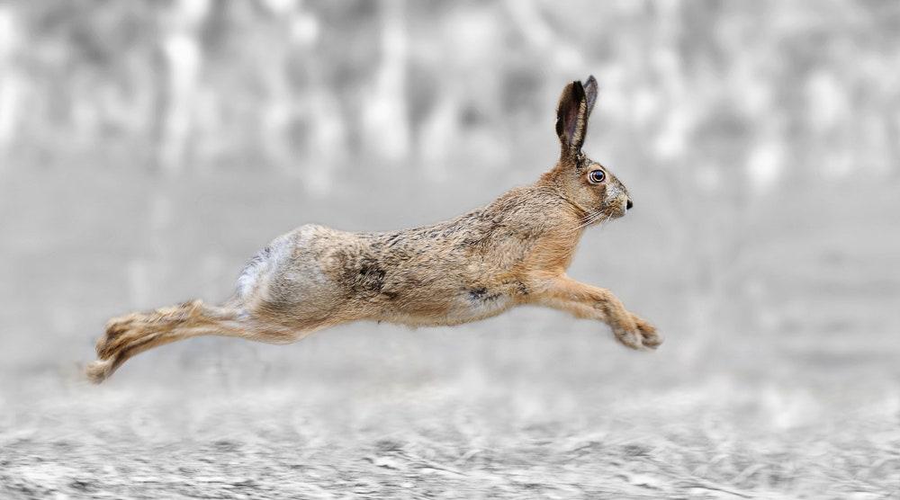 Running hare