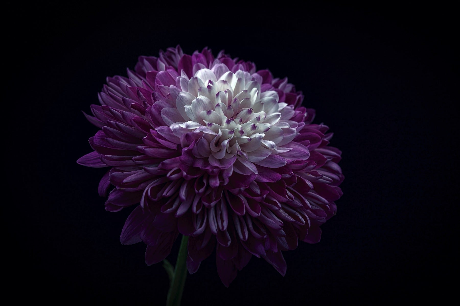 Purple flower with dark lighting