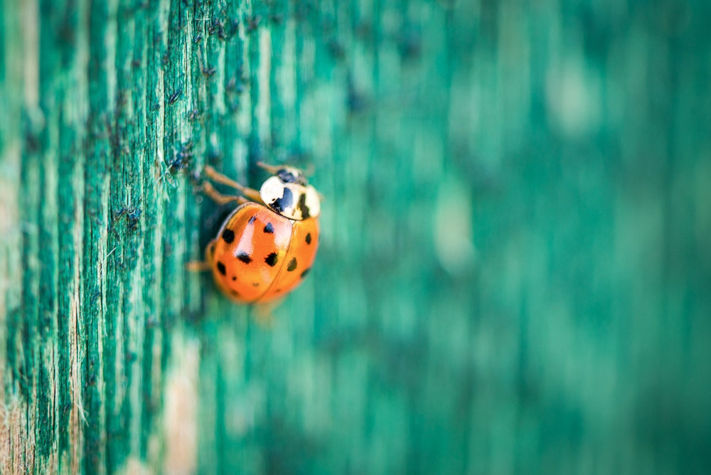 Ladybug with shallow depth of field
